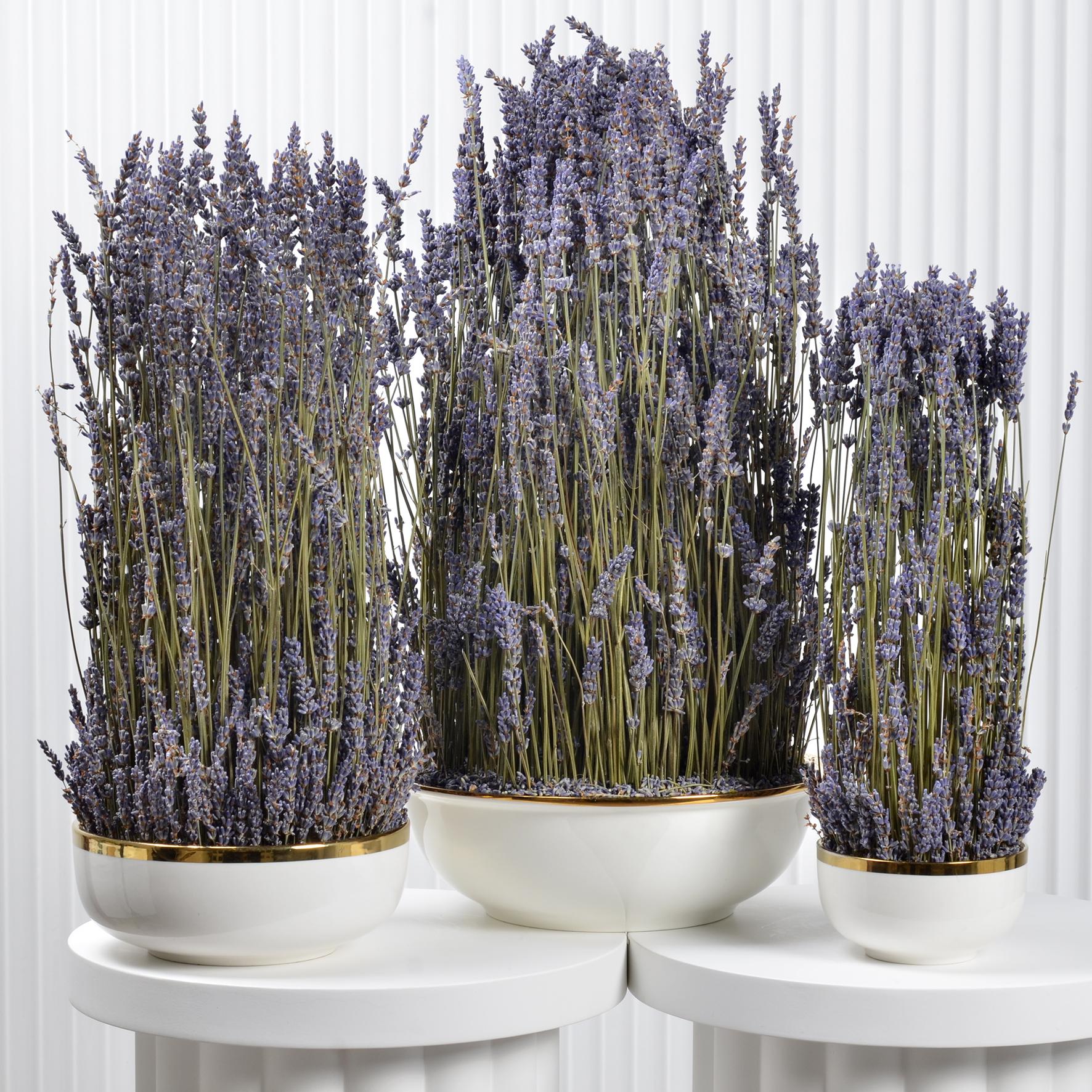 Lavender Family Set  Premium Collection