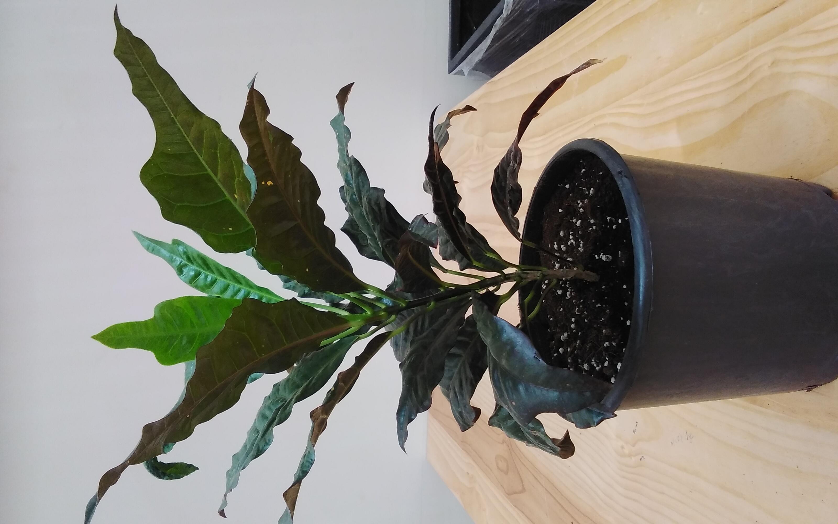Croton / Mix Color Pot Indoor Plants