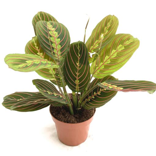 Maranta Leuconeura Indoor Plants