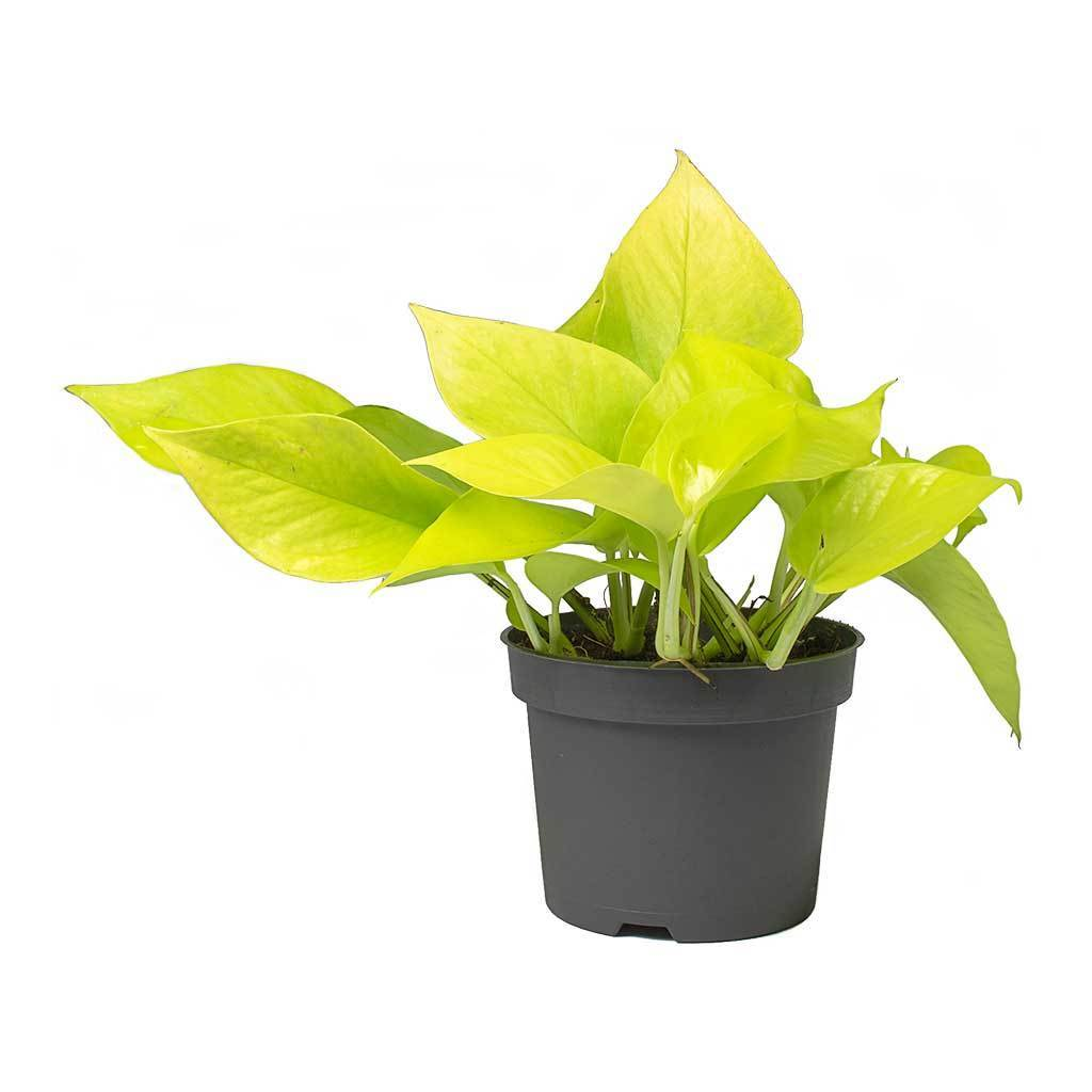 فيلوديندرون نيون نباتات داخلية