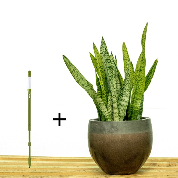 Sansevieria Trifasciata  + SUSTEE FREE Indoor Plants