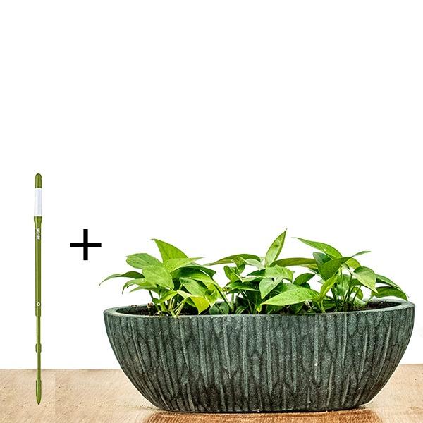 Money Plant + SUSTEE FREE Indoor Plants