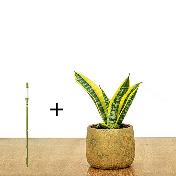 Sansevieria Dwarf + SUSTEE FREE Indoor Plants
