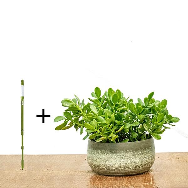 Jade Plant + SUSTEE FREE Indoor Plants