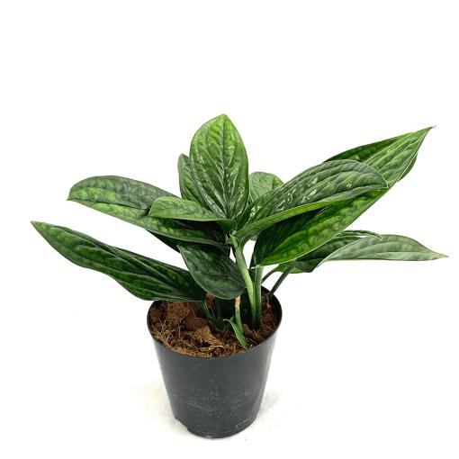 نبات اللبلاب نباتات داخلية