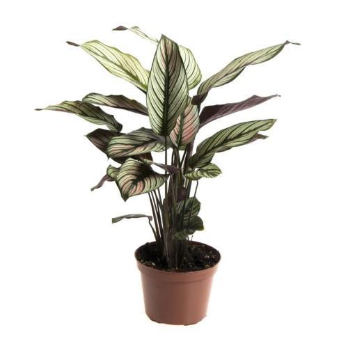 كالاتيا ماجستيكا - النجم الابيض نباتات داخلية