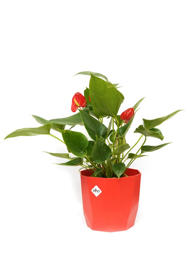 Laceleaf With Red Pot Indoor Plants