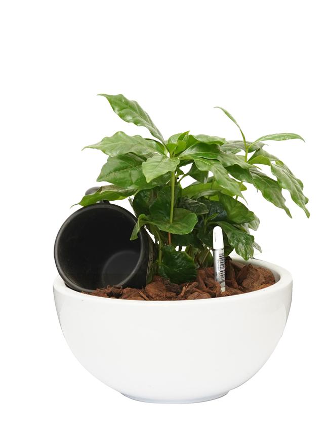 Coffee Arabica With Sustee Aquameter  Office Plants