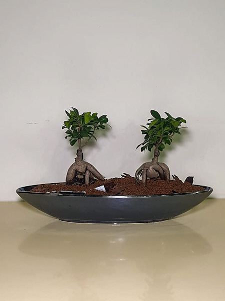 Mini Bonsai Indoor Plants