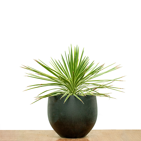 Yucca Aloifolia Marginata Indoor Plants