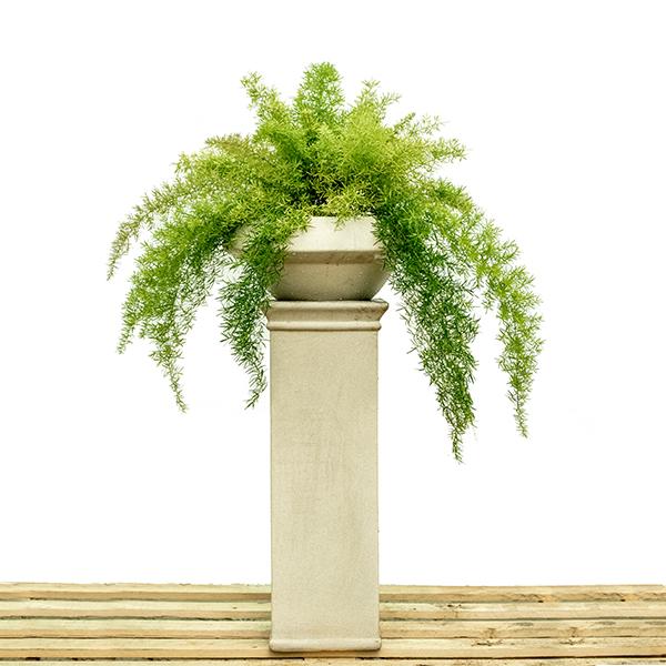 Asparagus Sprengeri Indoor Plants