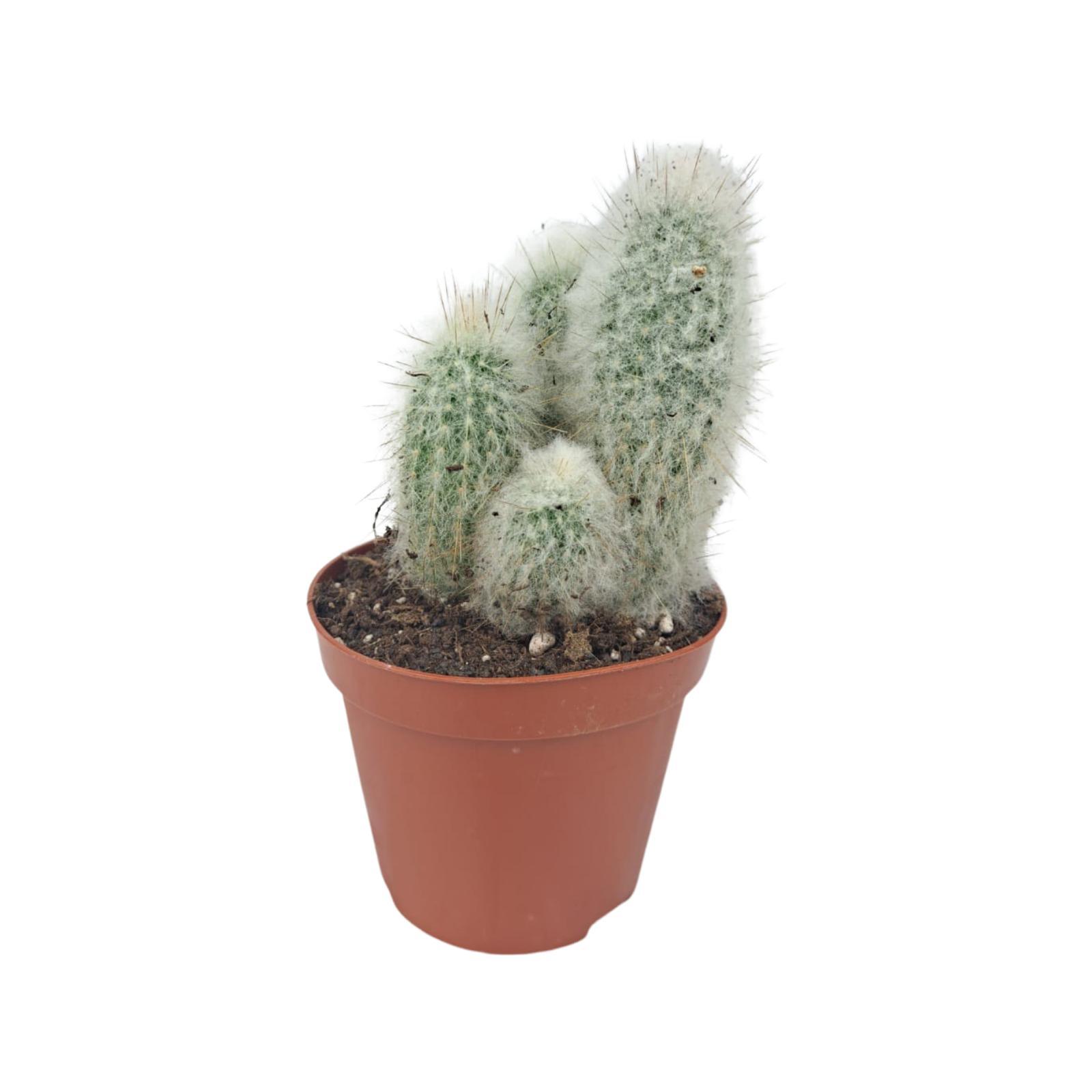 Old Man Cactus Wholesale Plants