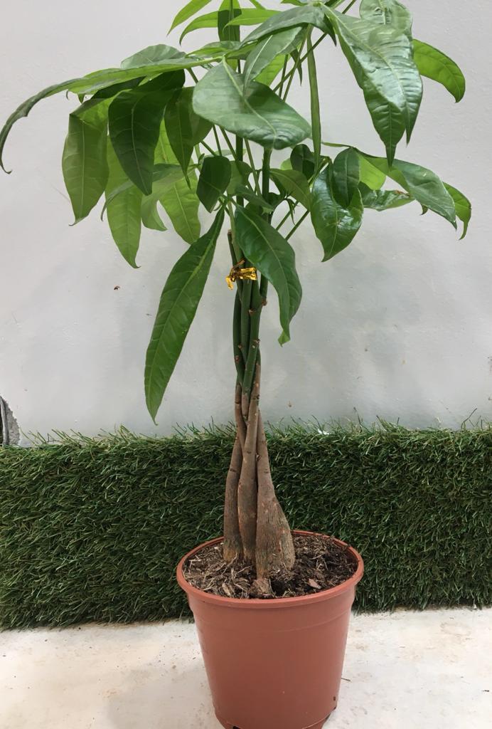باشيرا  نباتات داخلية