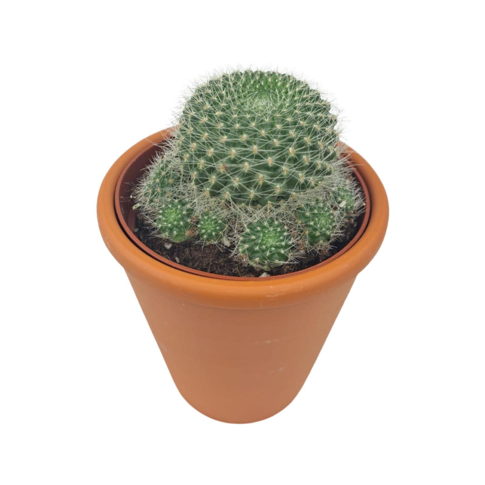 Cactus Balls Wholesale Plants