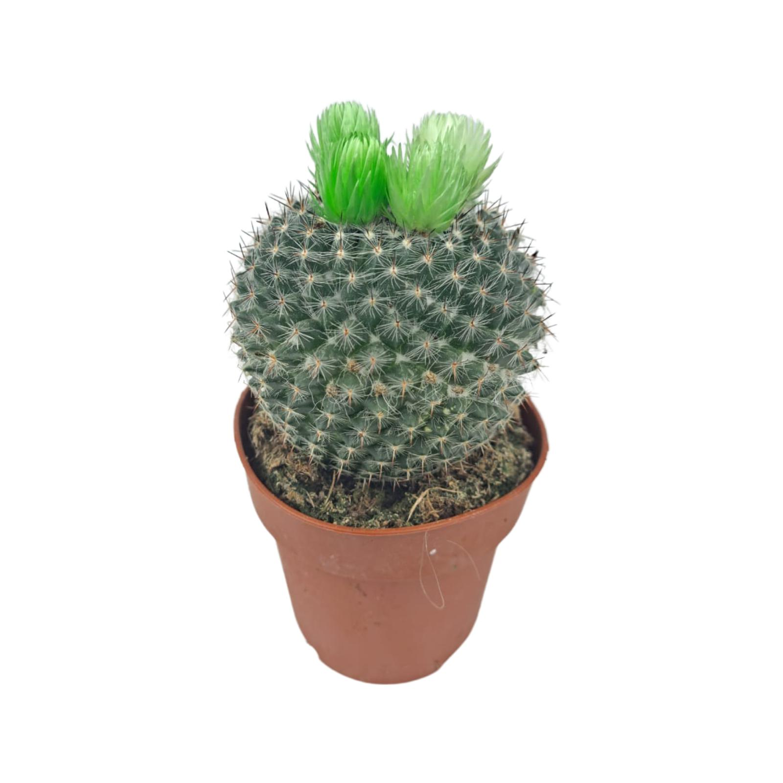 Cactus Green Balls Wholesale Plants
