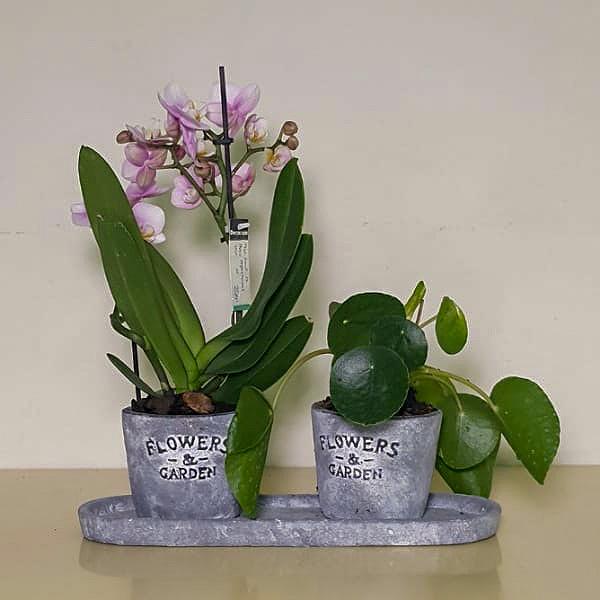 Orchid Pilea Plants Premium Collection