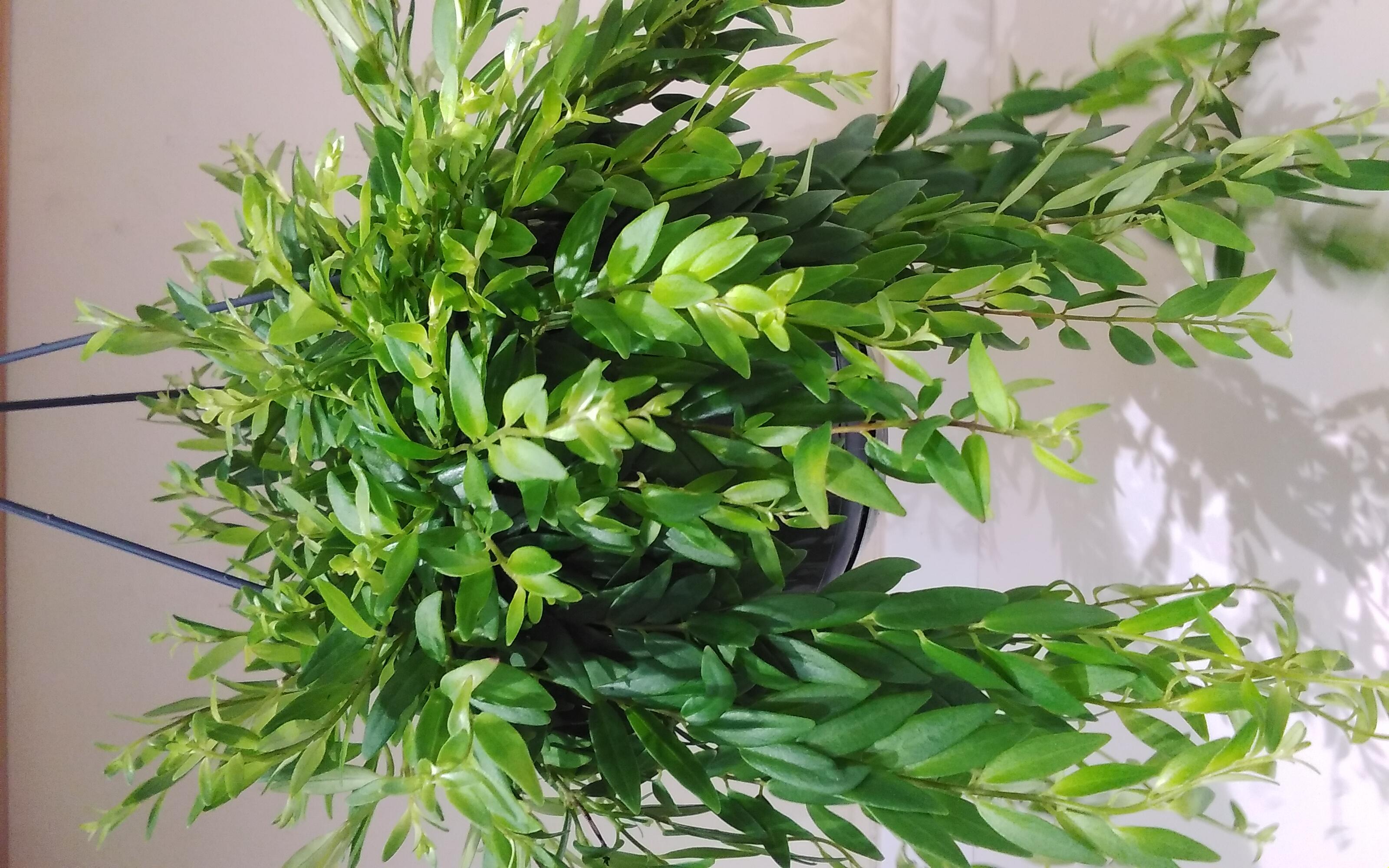 Aeschynanthus Rasta Indoor Plants