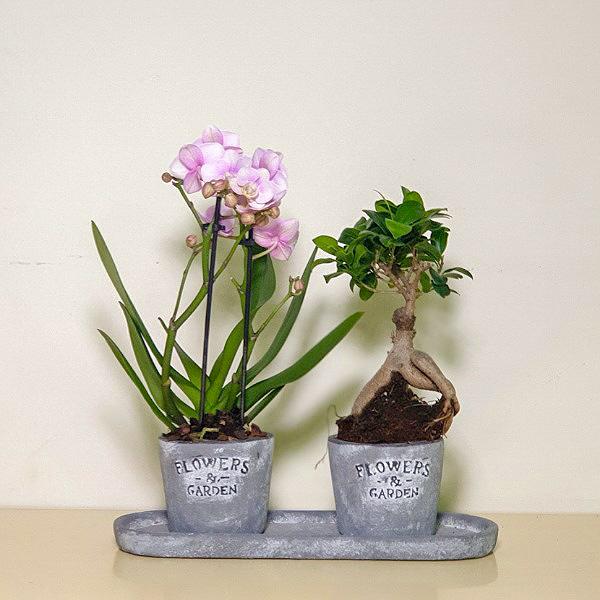 Mini Pink & Ficus Premium Collection