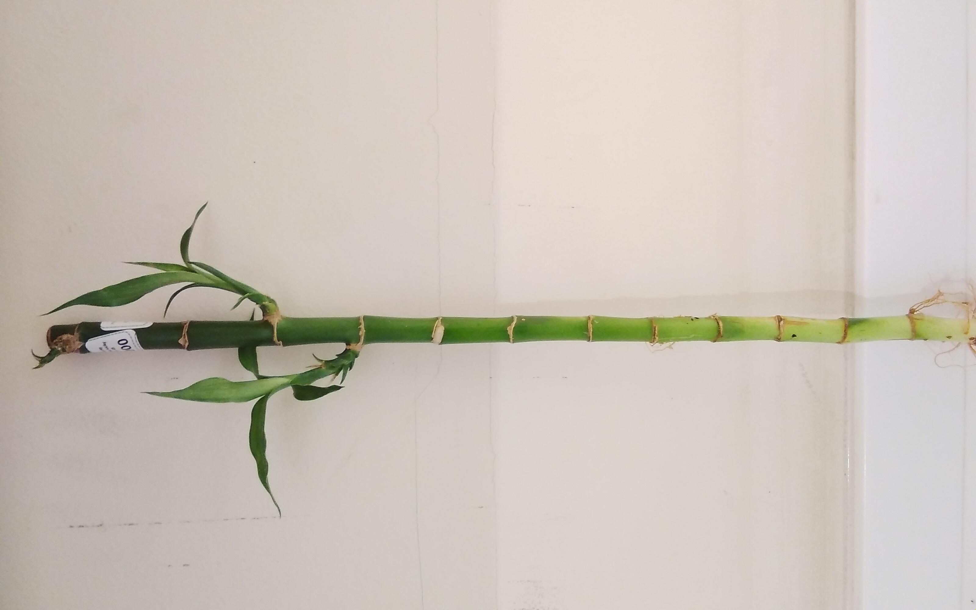 لاكي بامبو نباتات داخلية