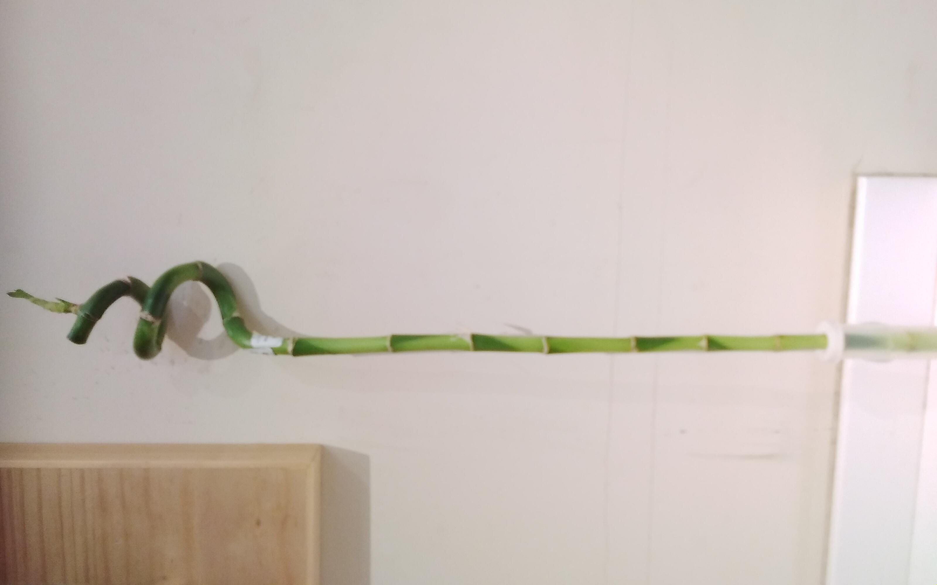 Lucky Bamboo STRAIGHT Indoor Plants