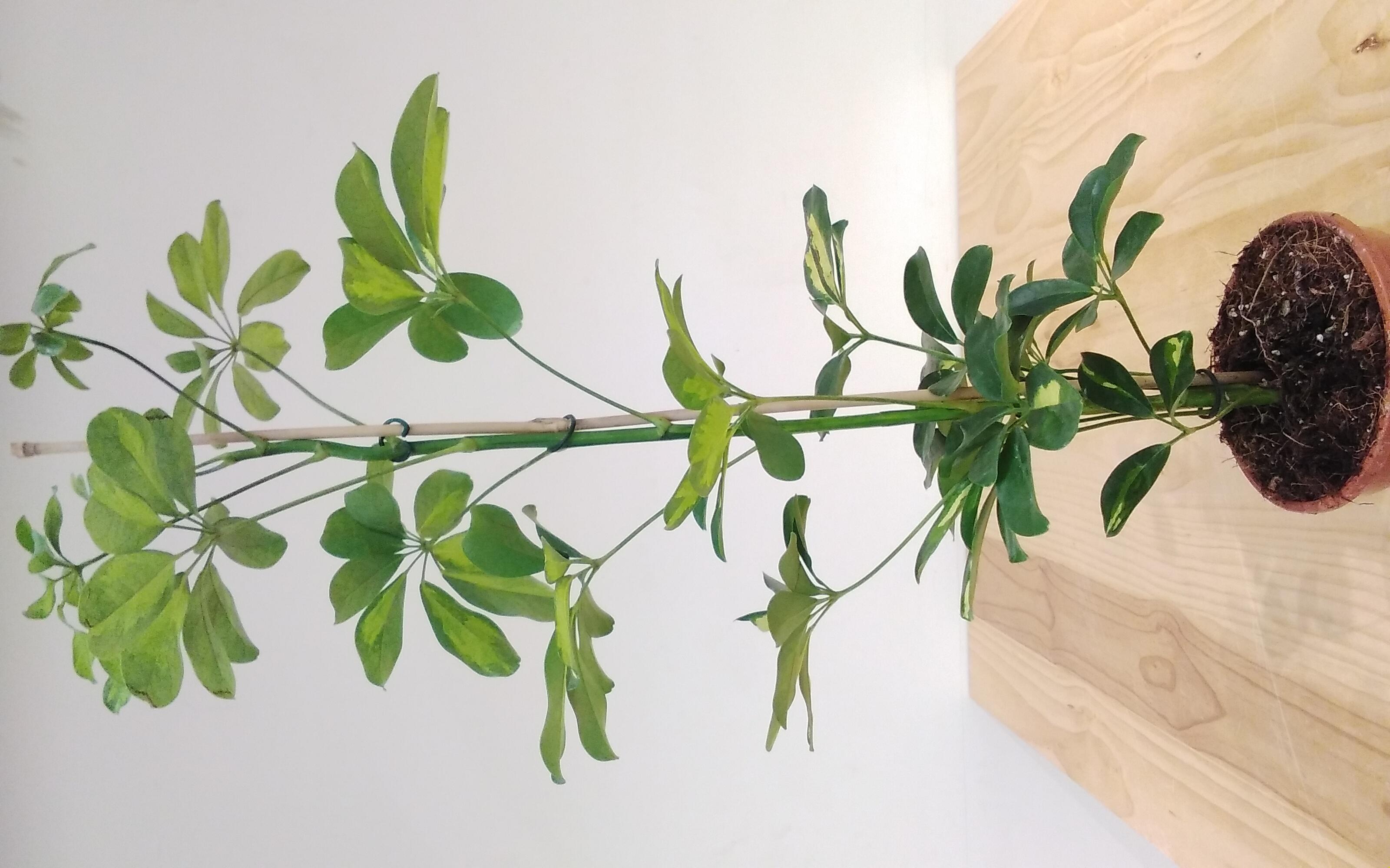 Schefflera Arboricola Gerda  'Indoor Plants'