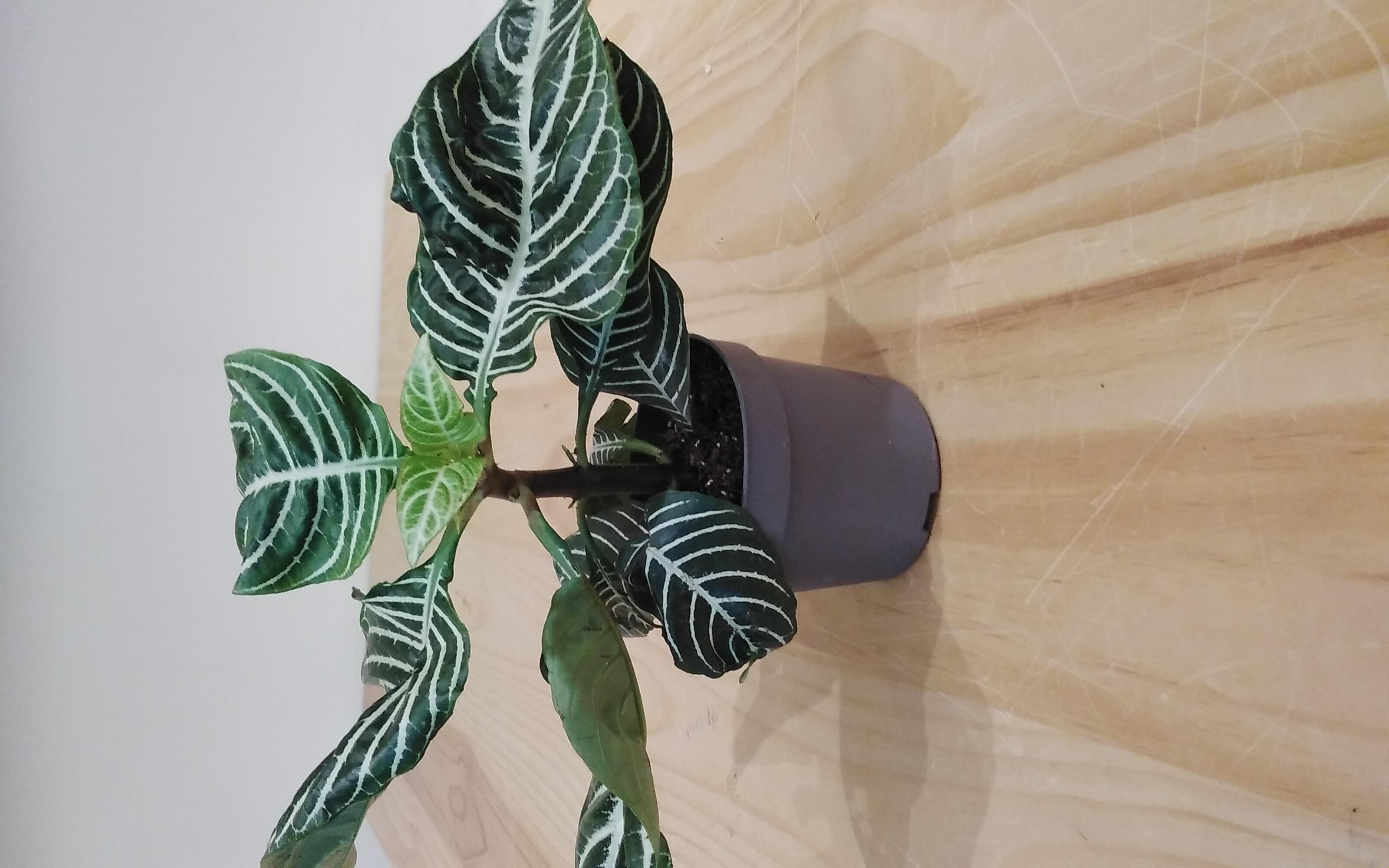 Aphelandra Squarrosa 'Indoor Plants'