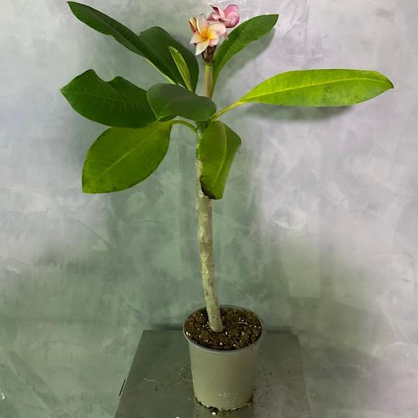 Plumera Rubra Outdoor Plants