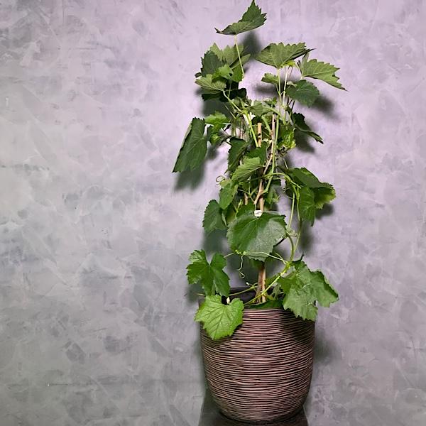 Vitis Grape Premium Collection