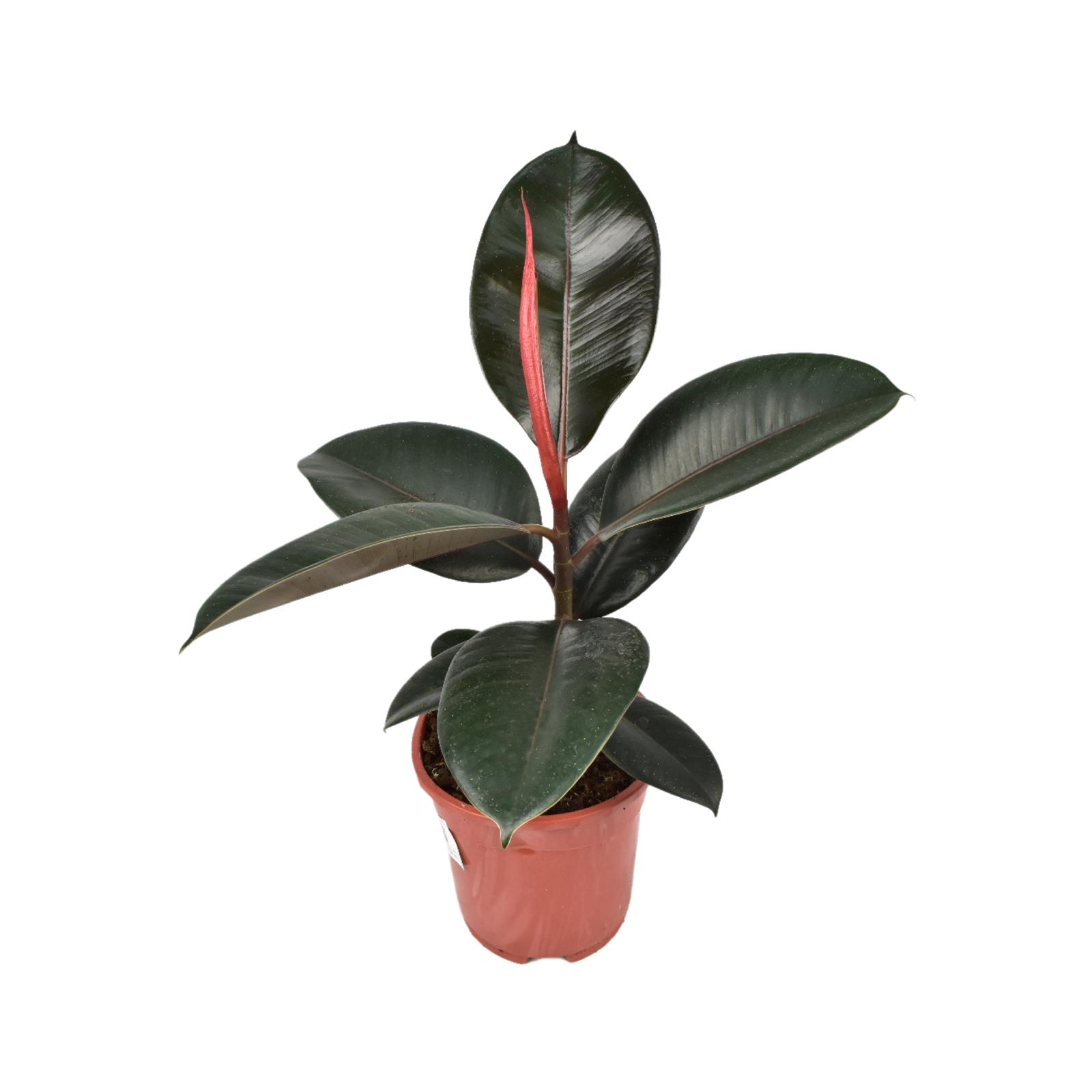 Ficus Elastica Robusta Plant 'Wholesale Plants'