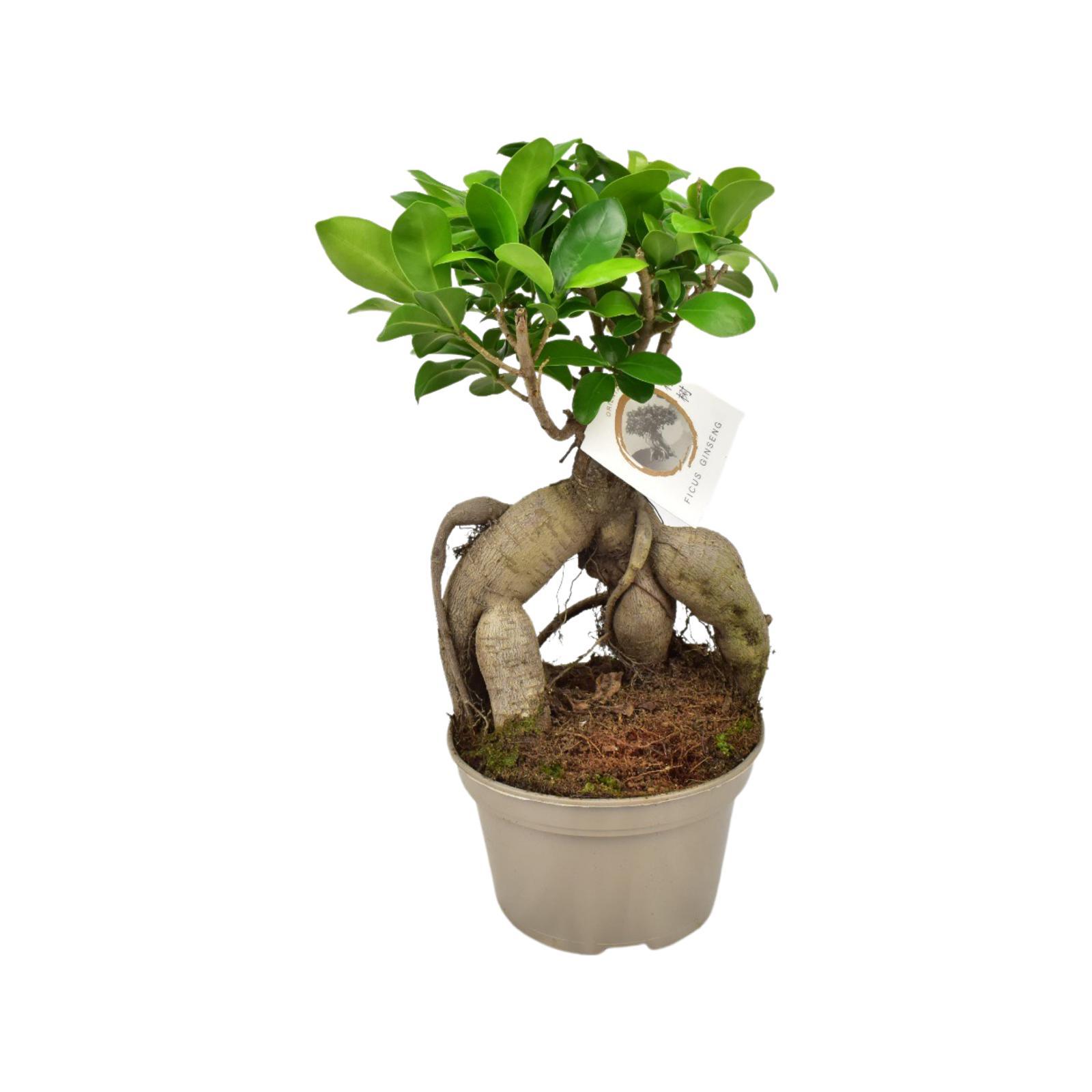 Ficus Ginseng Plants 'Wholesale Plants'