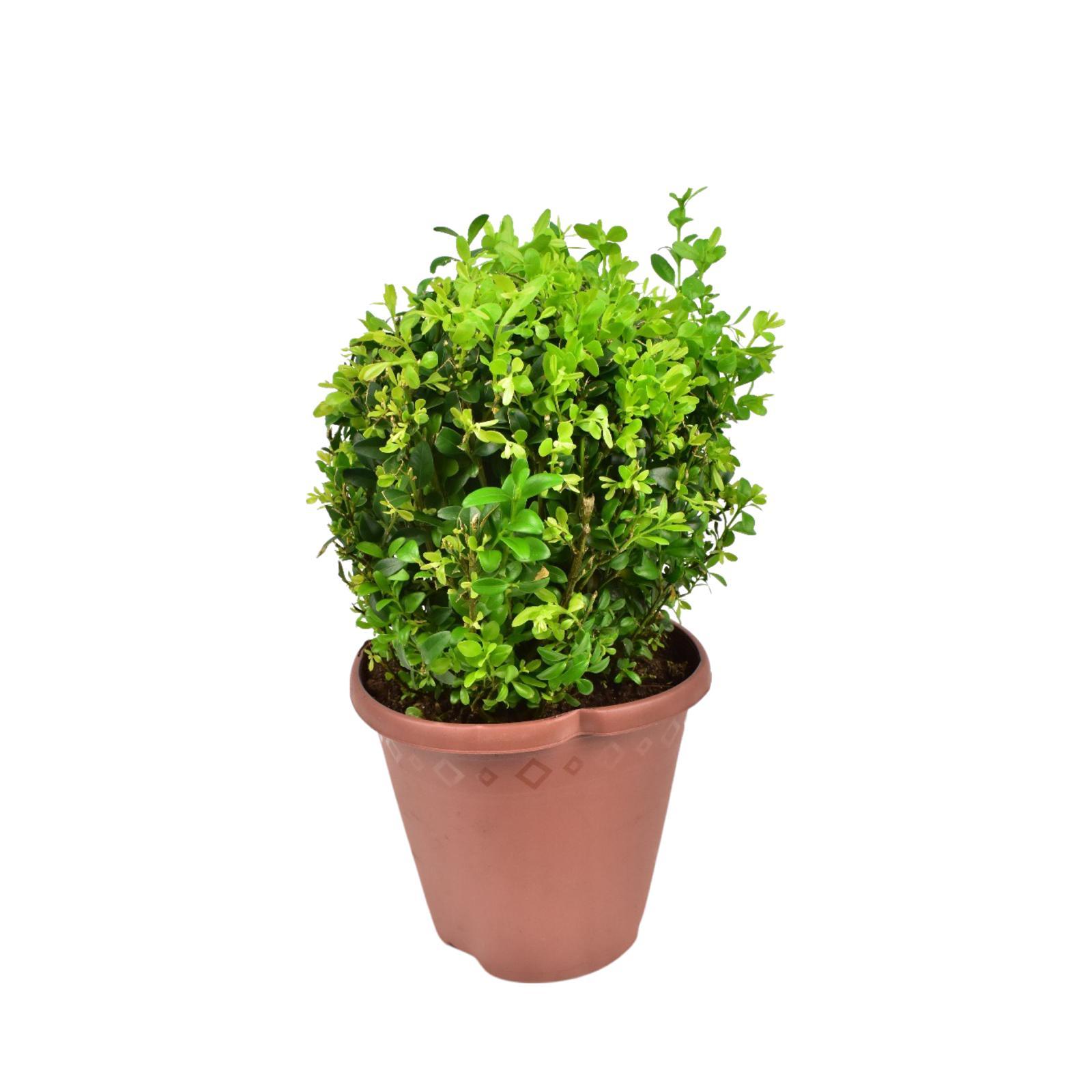 البقس دائم الخضرة كروي - ٢٠- ٢٢سم  نباتات داخلية