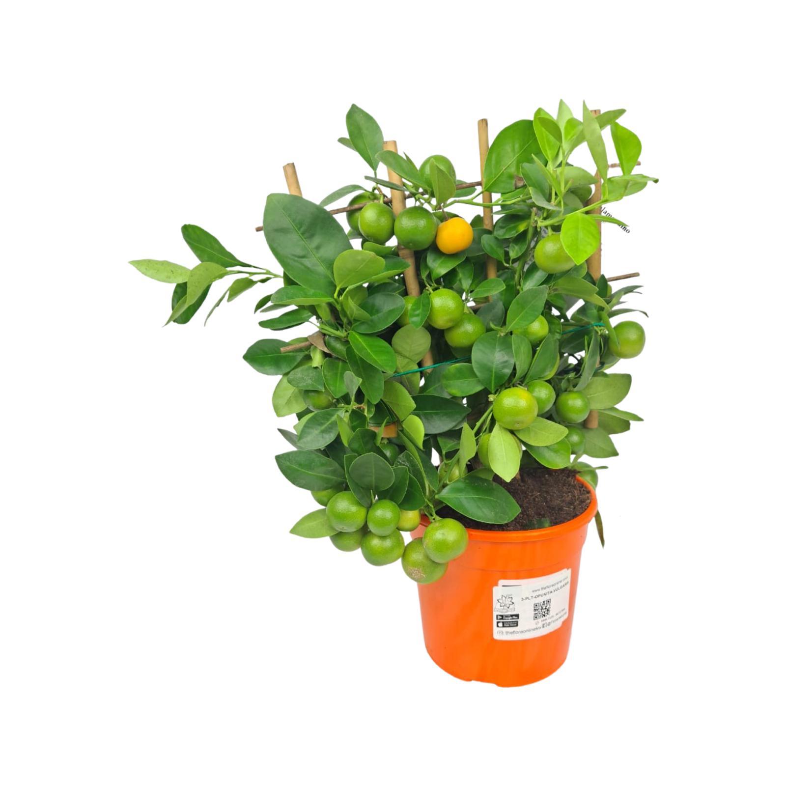Citrus Calamondin Plants Wholesale Plants