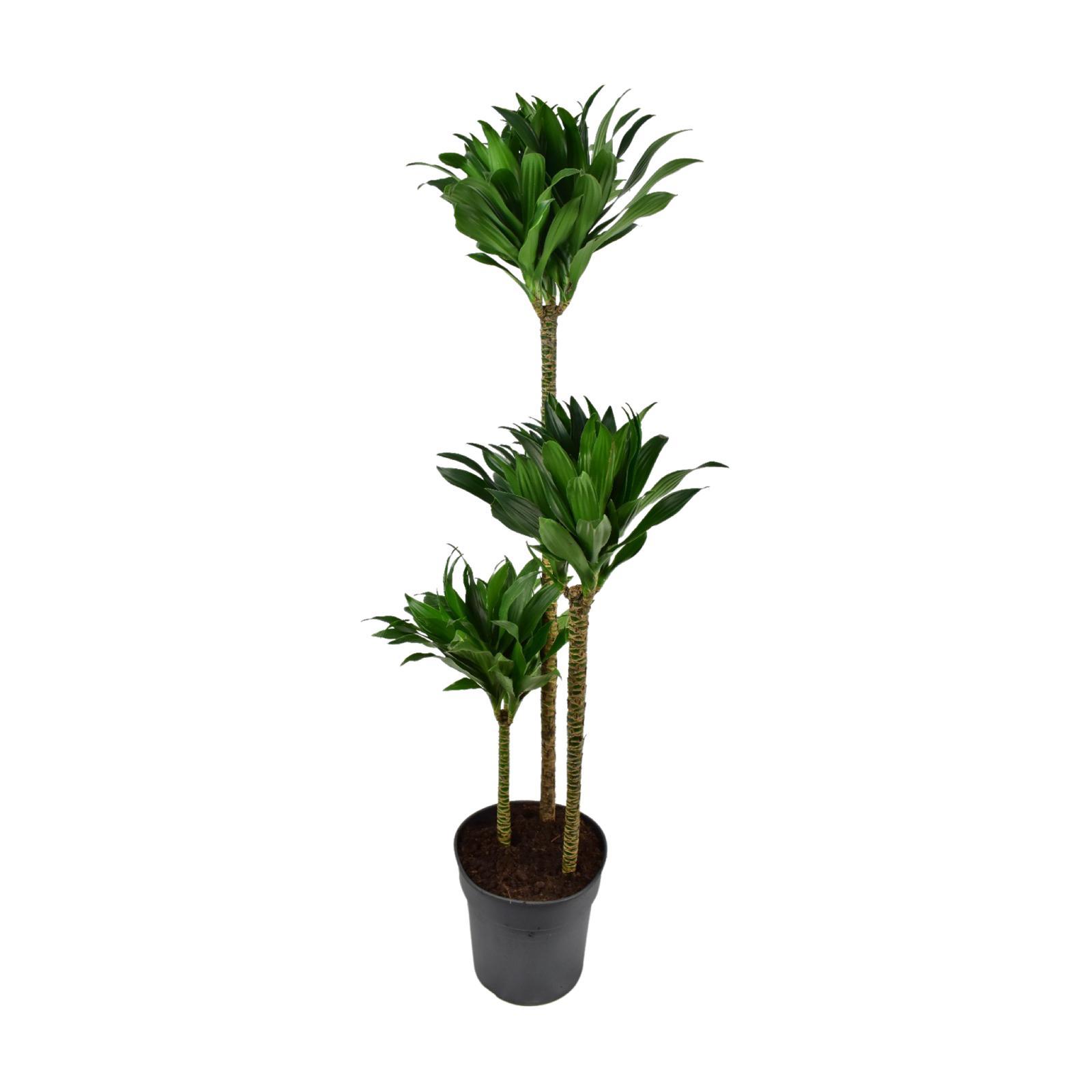 Dracaena Fragrans Compacta Indoor Plants