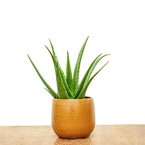 Aloe Vera Plant Indoor Plants