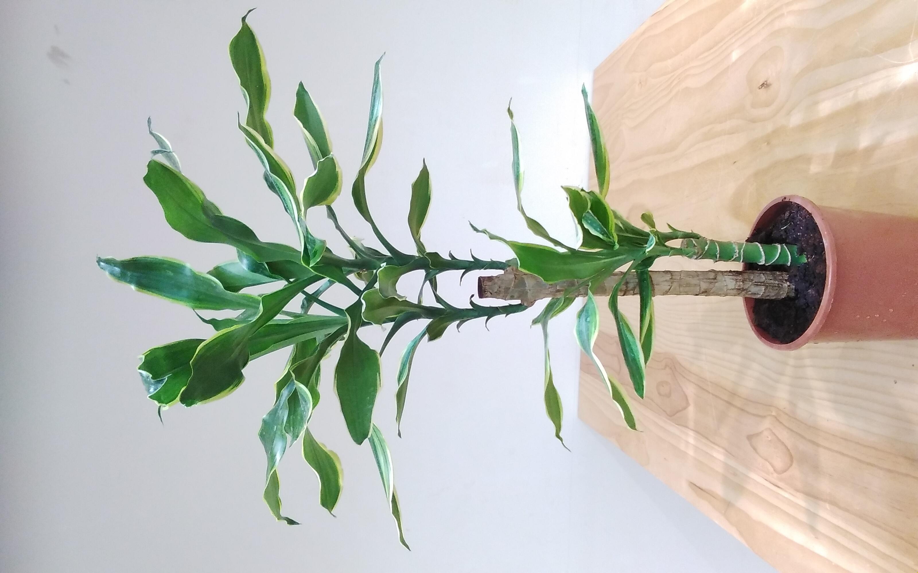 Dracaena Massangeana Indoor Plants