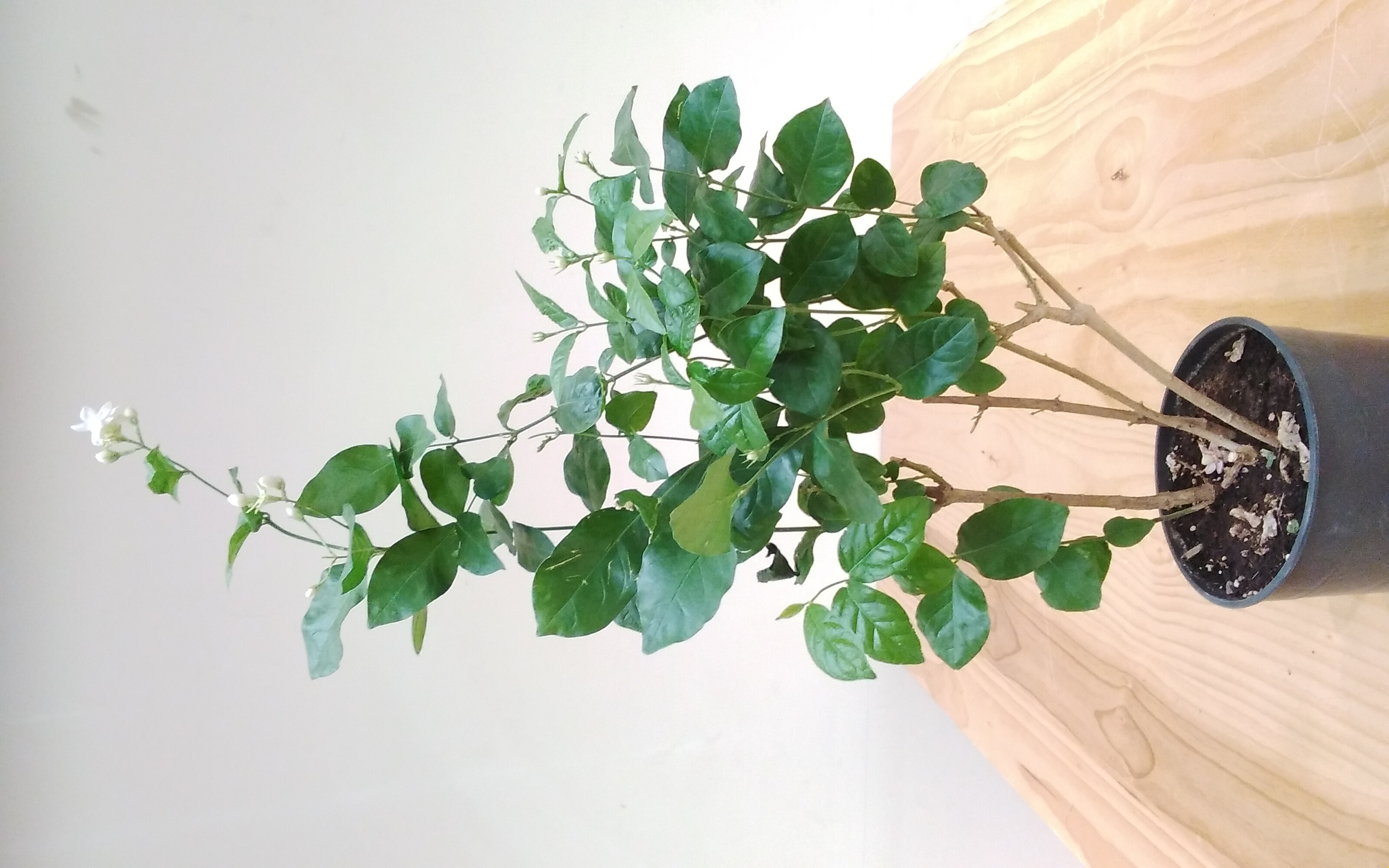 Jasmine 'Outdoor Plants'