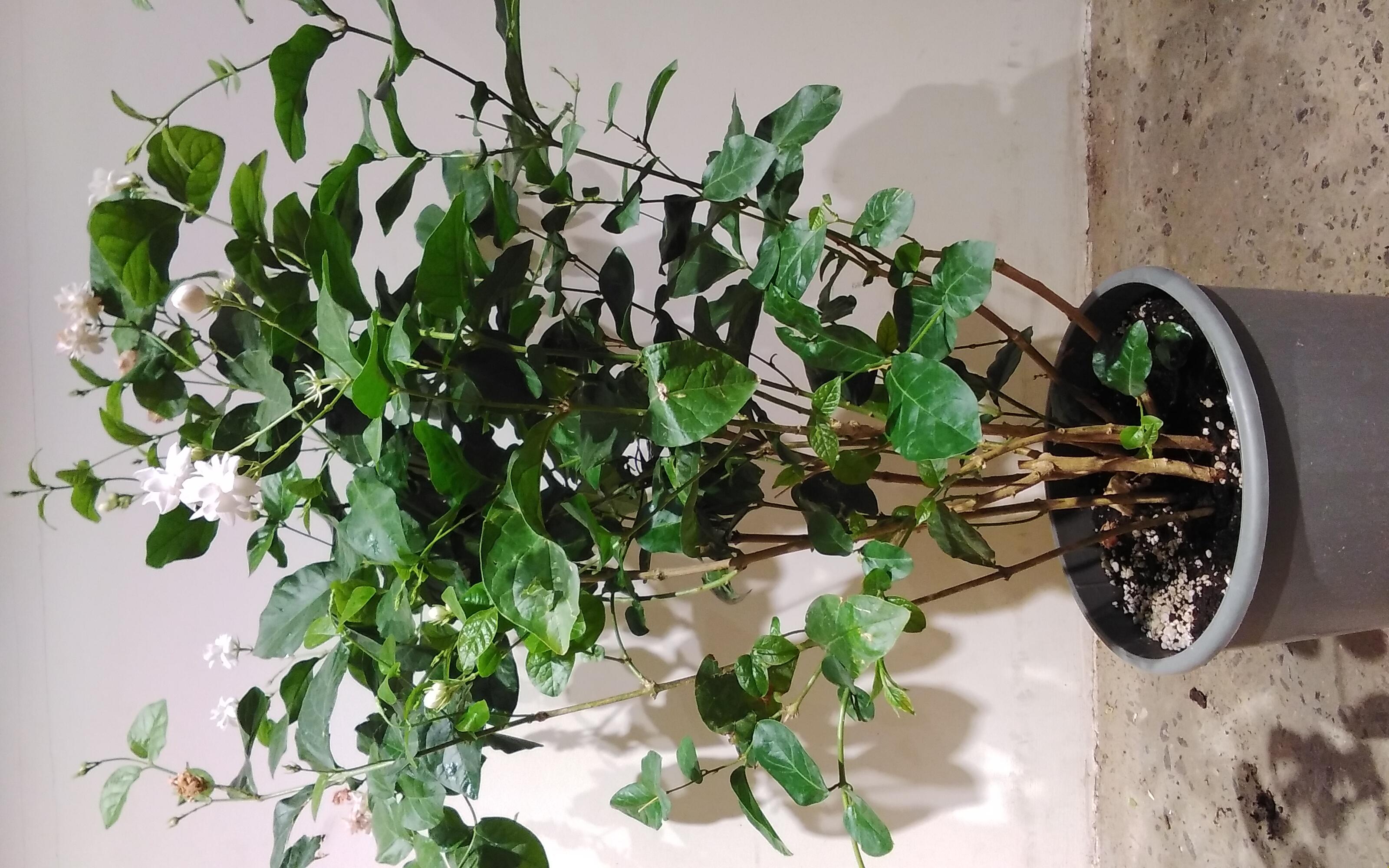 ياسمين نباتات خارجية