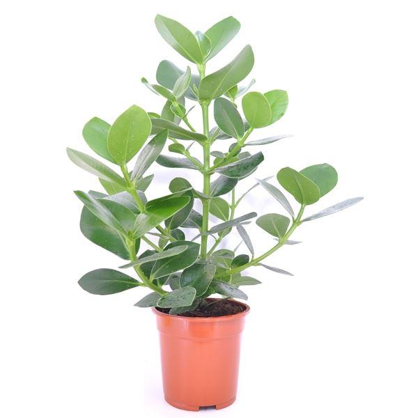 Clusia Rosea Princess Office Plants