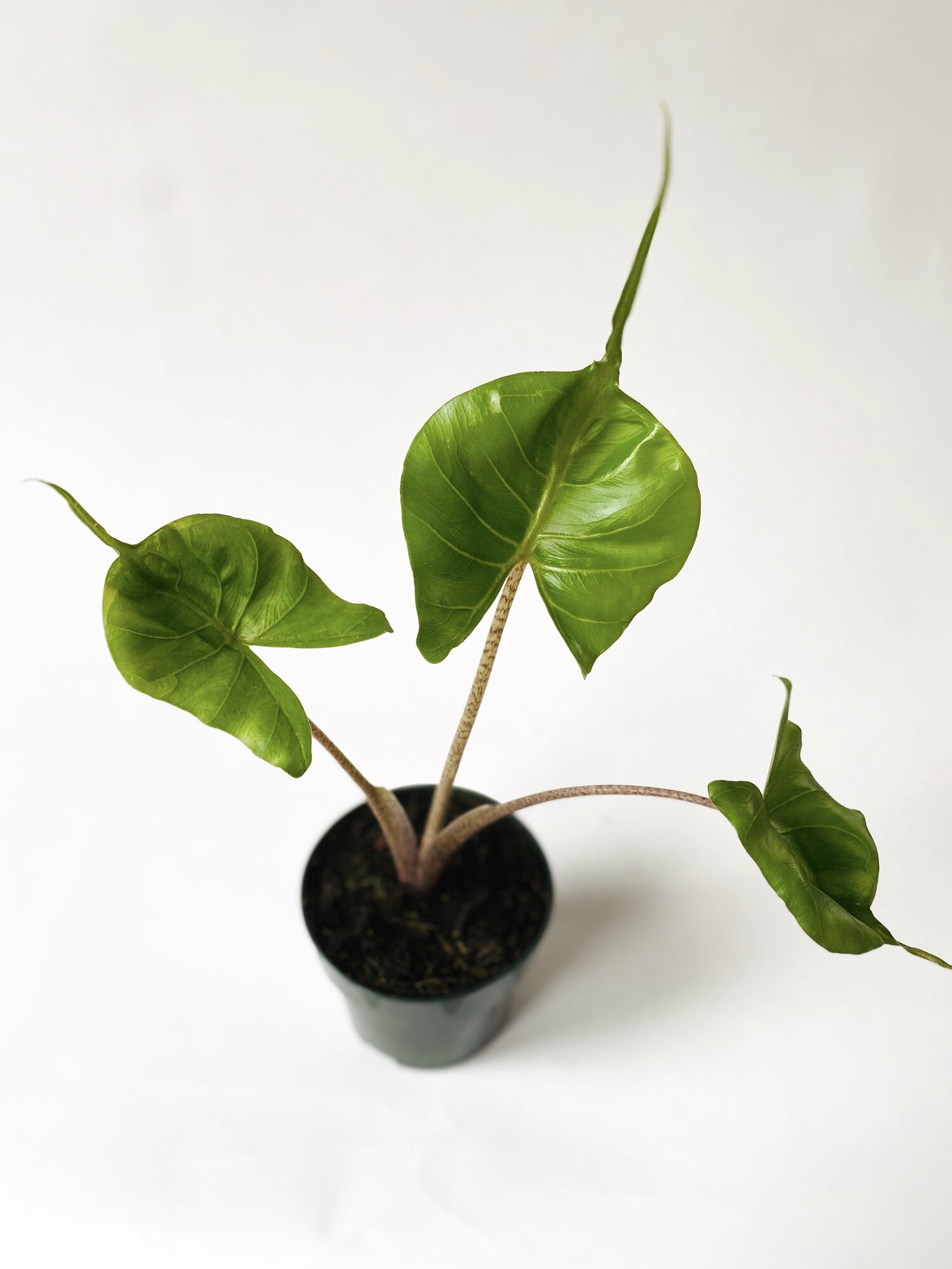 Alocasia Macrorrhiza Stingray Indoor Plants