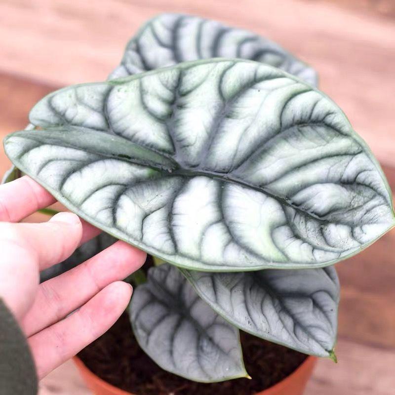 Alocasia Silver Dragon Indoor Plants