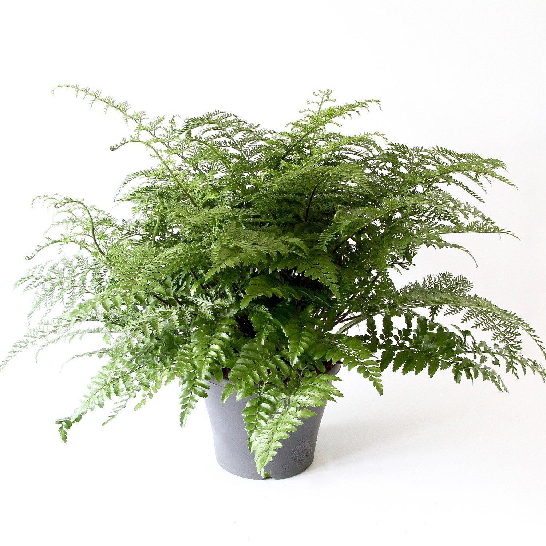 Asplenium Parvati Indoor Plants