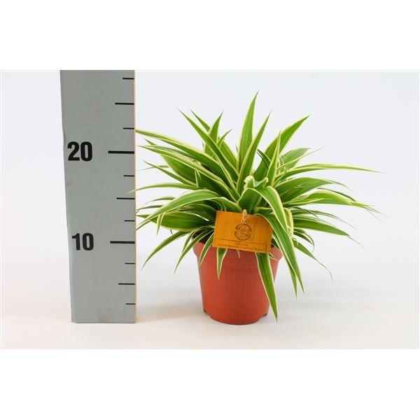 الكلوروفيتوم نباتات داخلية