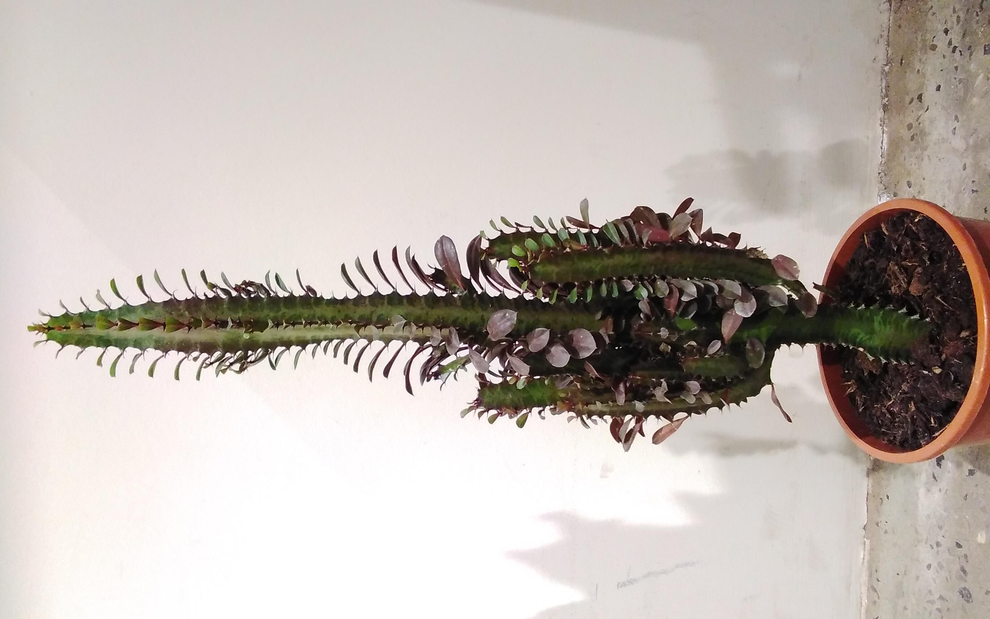 Euphorbia Ingens 'Indoor Plants'