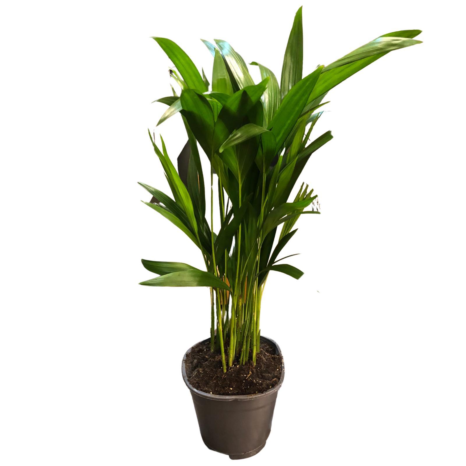 Dypsis Plants Wholesale Plants
