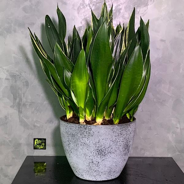 Sanseverea Trifaciata Xl Office Plants