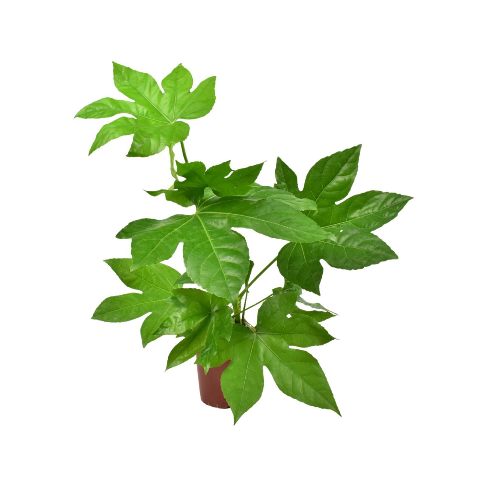 Fatsia Japonica Plant Wholesale Plants
