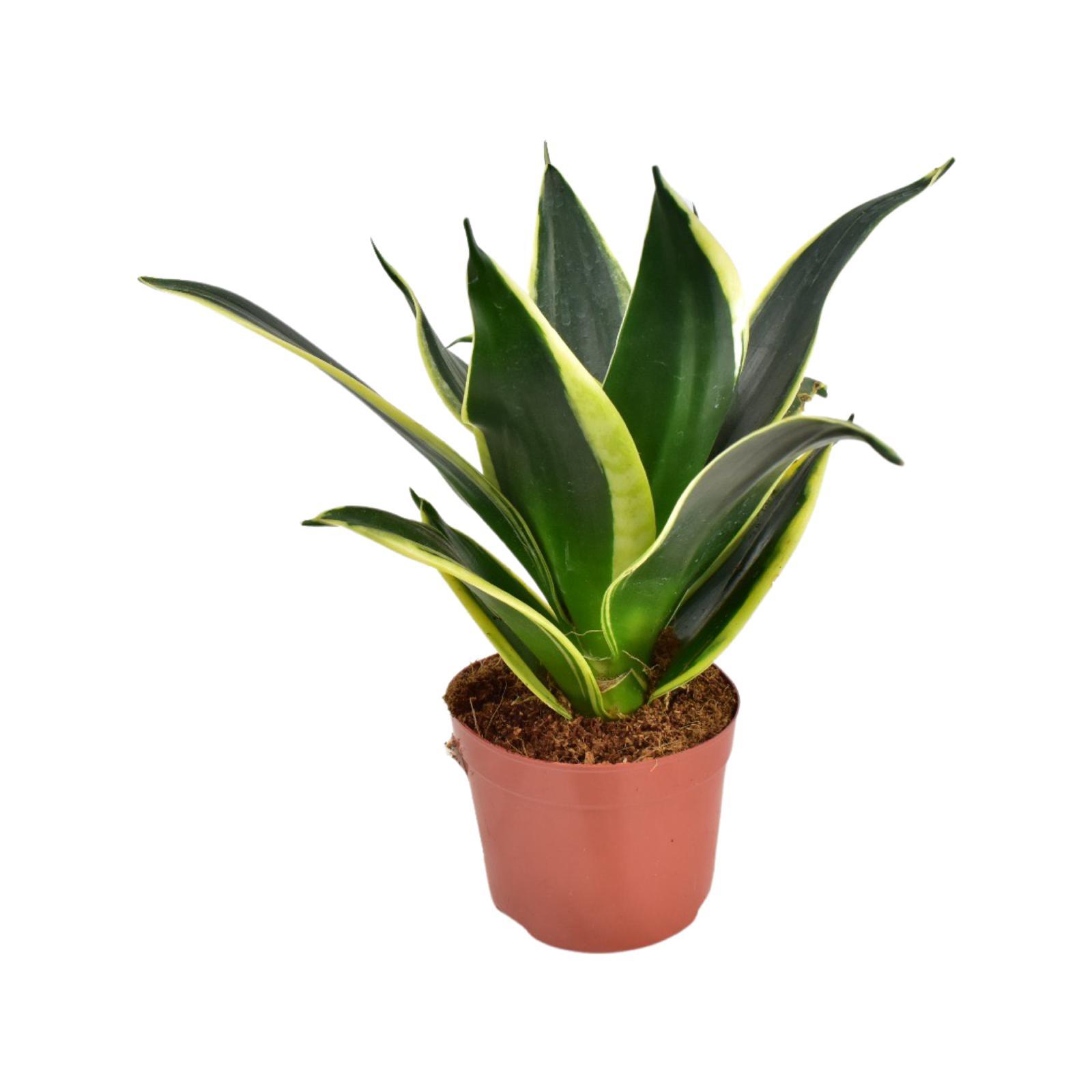 Sanseivieria Golden Plant Wholesale Plants