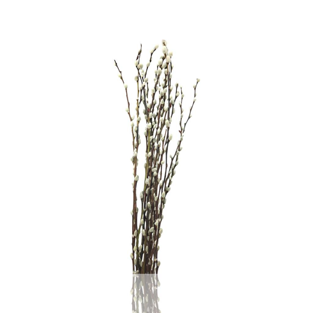Pussy Willow White 'Wholesale Flowers'