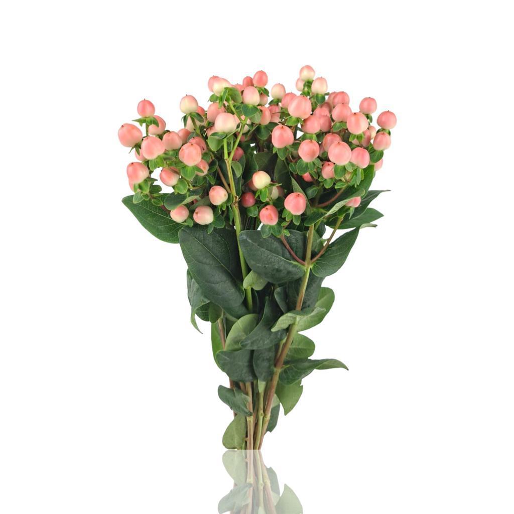زهرة العرن- هايبركوم (وردي) ' الزهور بالجملة'