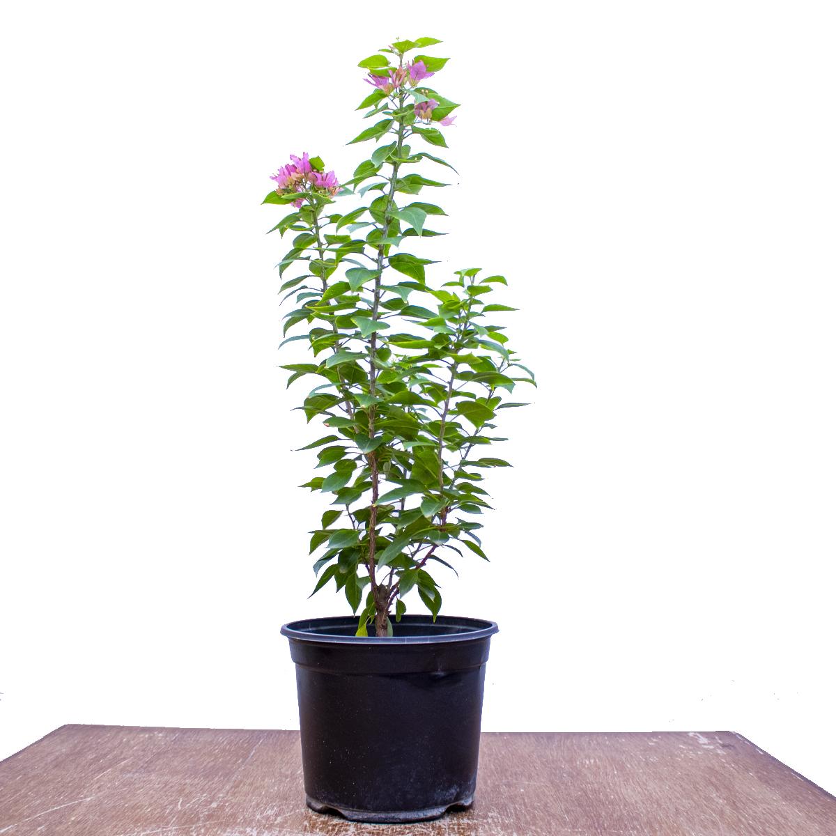 مجنونة قزمة - جهنمية قزمة نباتات خارجية